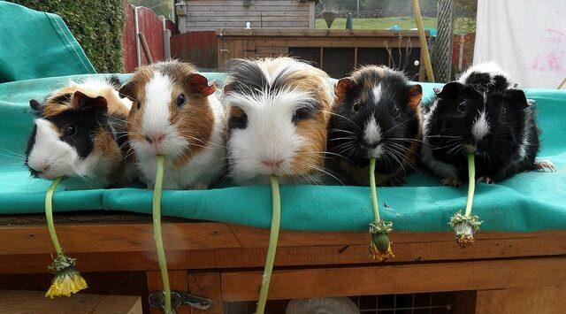 Guinea Pig ve Irkları