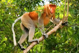 Proboscis Maymunu