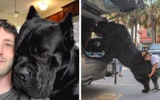 Ne Kadar Büyük Olduklarının Farkında Olmayan Sevimli Büyük Köpekler