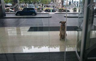 Sokak Köpeği Onu Evlat Edinmek İstediği Kişiyi Her Gün Otel Dışında Bekler