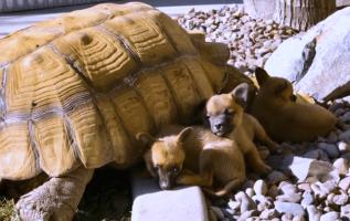 Terk Edilmiş Yavrular Yalnız Dev Bir Kaplumbağayla Arkadaş Olurlar
